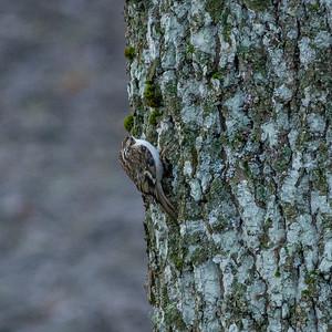 Certhia familiaris, Trädkrypare, Eurasian Treecreeper