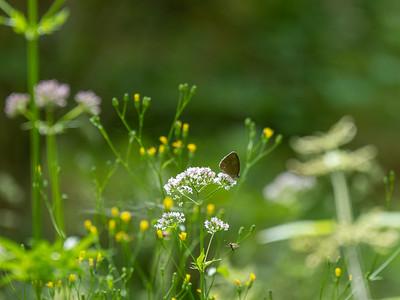 Aphantopus hyperantus, Luktgräsfjäril
