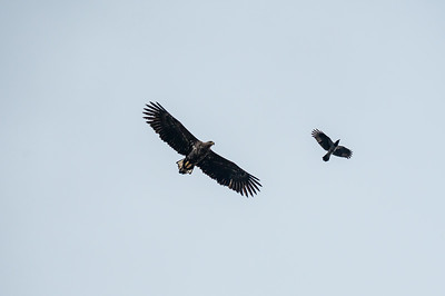 Haliaeetus albicilla, Havsörn, White‐tailed Eagle