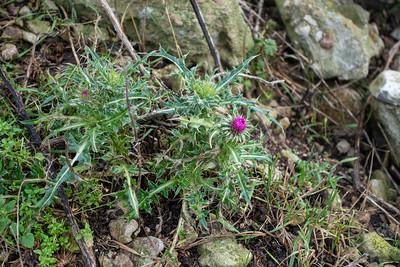 Carduus nutans, Nicktistel, Asteraceae, Korgblommiga