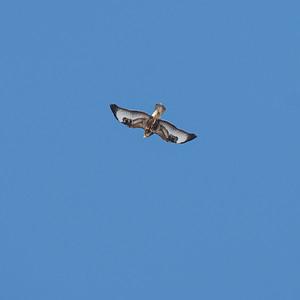 Buteo buteo, Ormvråk, Common Buzzard