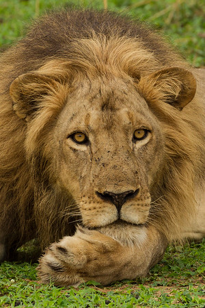 Pensive Lion Portait