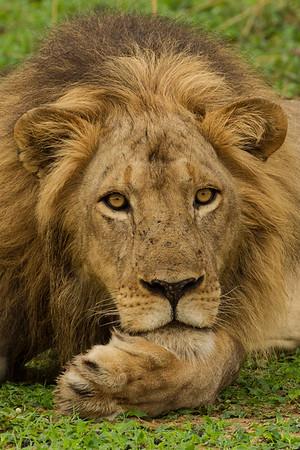 Pensive Lion Portait