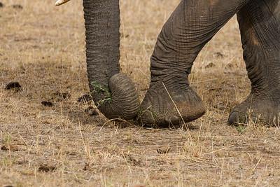Elephant Dexterity
