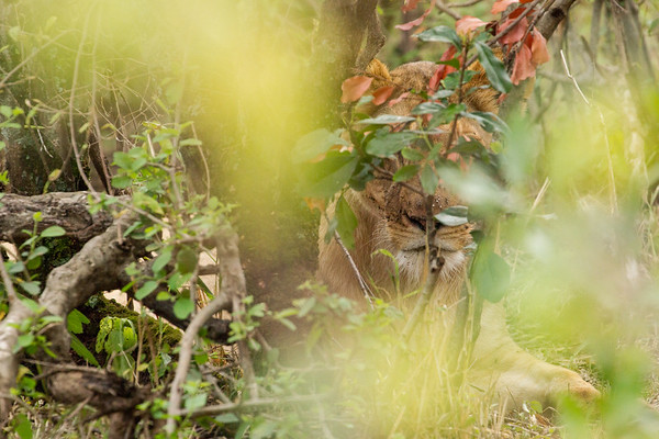 Camouflage Lioness