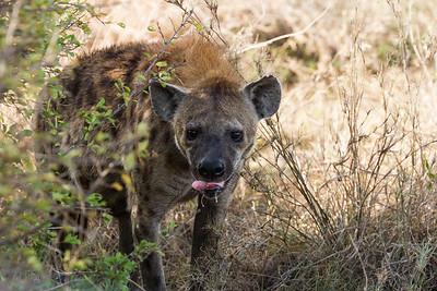 Dribbling hyena