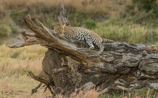 Leopard on the log