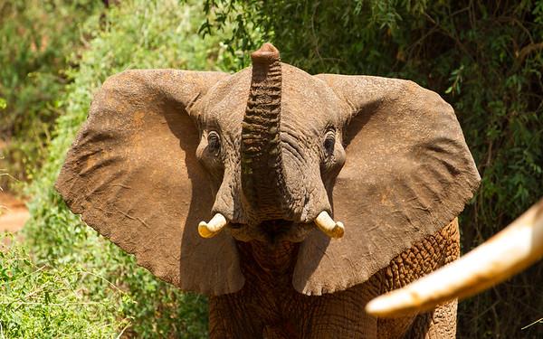 Elephant Greeting