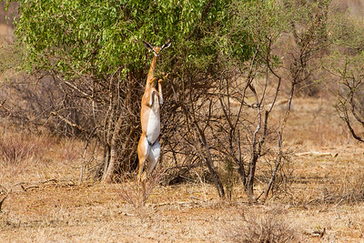 Eating Gerenuk