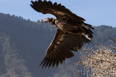 Lappet-faced vulture taking off