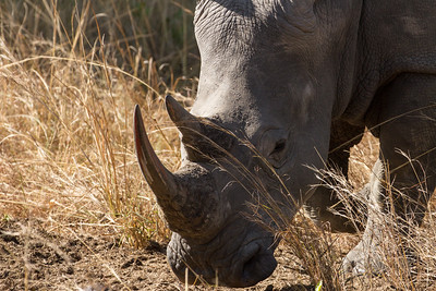 White Rhino head on