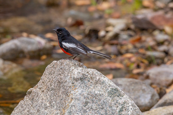 Painted redstart (Myioborus pictus), Madera Canyon, Santa Rita Mountains, Santa Cruz County, Arizona