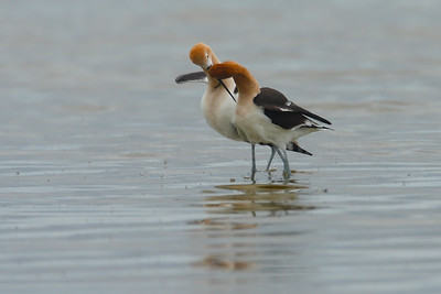 Avocet Post-mating Display