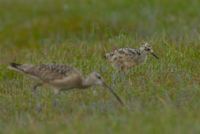 Feeding Parent Long-billed Curlew And Chick