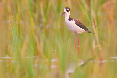 Black-necked Stilt