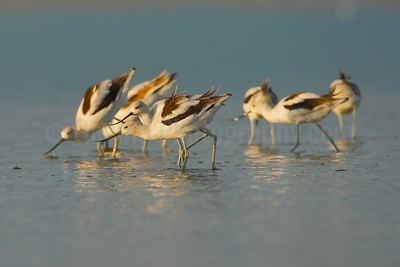 Feeding Avocets