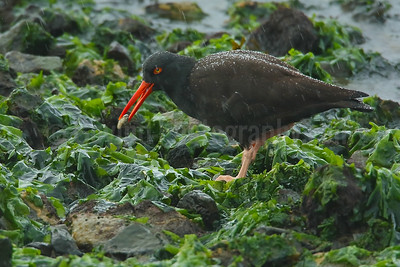 Black oystercatcher with oyster