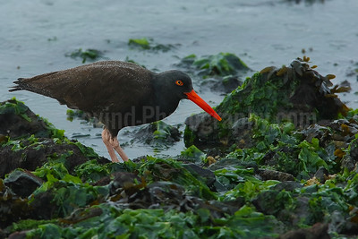 Black oystercatcher