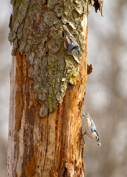 Nesting White-breated Nuthatches