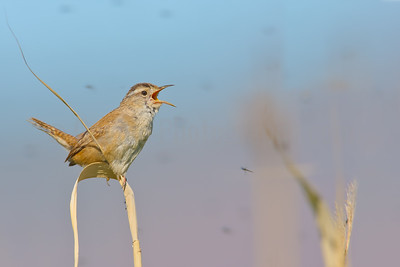Marsh Wren  Territorial Singing