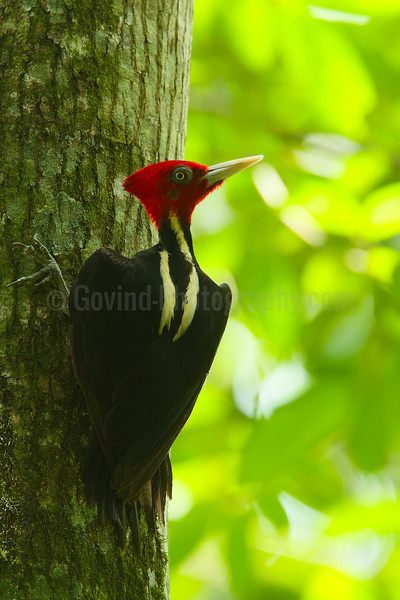 Pale-billed woodpecker