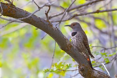 Northern Flicker (Female)