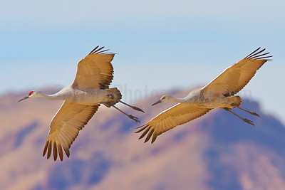 Adult and Juvenile Sandhill Cranes in Flight
