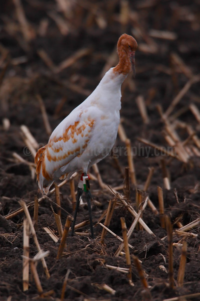 Whooing Crane
