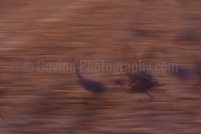 Sandhill Cranes Takeoff Abstract