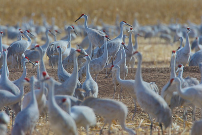 Socializing Sandhill Cranes