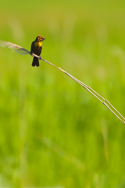 Yellow-headed Blackbird Fledgeling