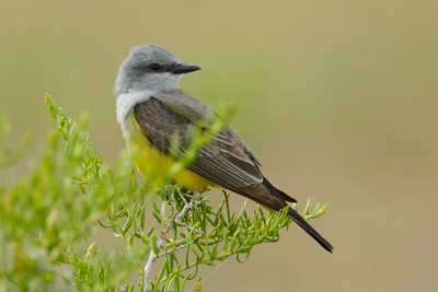 Western Kingbird on Sage-brush