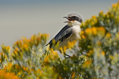 Northern shrike on Sagebrush