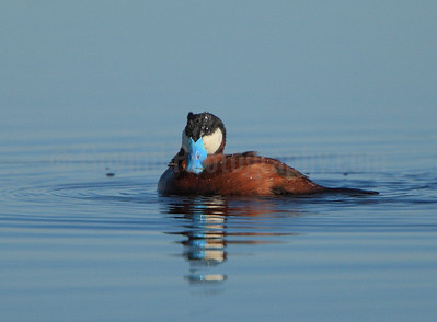Ruddy Duck (M)