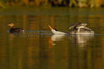Grebe Stretch