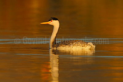 Clark's Grebe at Sundown