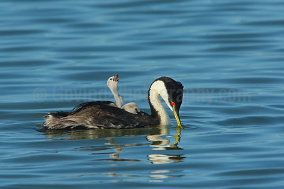 Parent western grebe with chicks