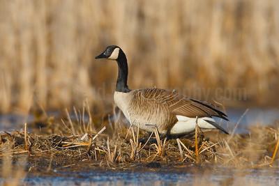 Nesting Canada Goose