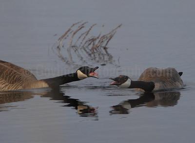Geese Wars