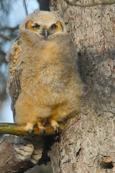 Great-horned Owl Chick