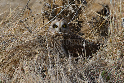 Short-eared Owl Gathering Nesting Material