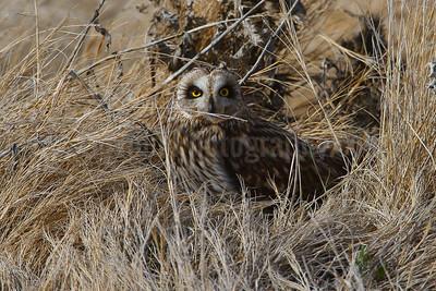 Short-eared Owl Gathering Nesting Material