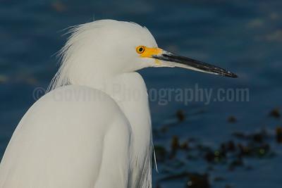 Snowy Egret Profile