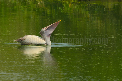 Spot-billed Pelican Feeding