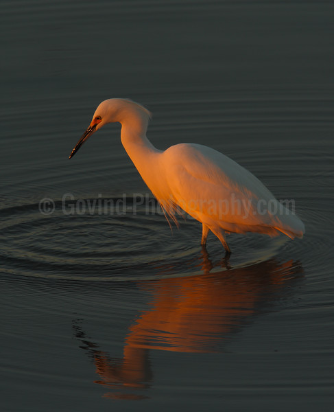 Snowy Egret at Last Light
