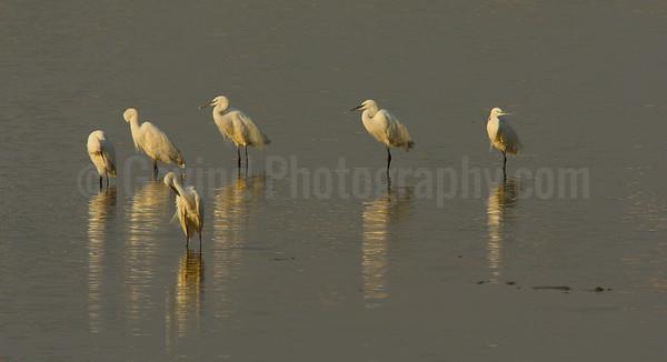 Median Egrets
