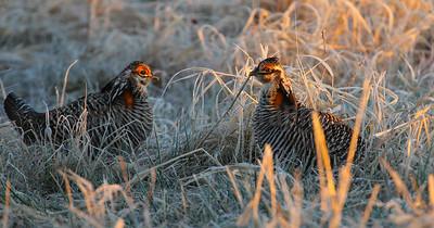 Duelling Prairie Chickens