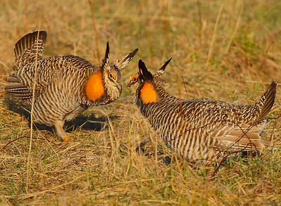 Greater Prairie Chickens at Lek