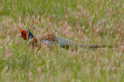 Ring-necked Pheasant in Habitat
