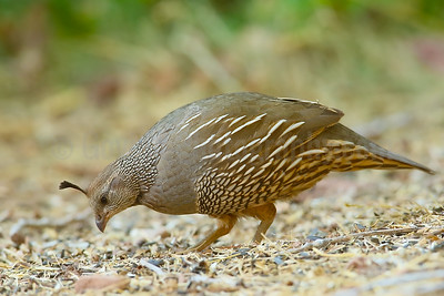 Feeding California Quail (F)